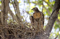 Red-tailed Hawk fledging