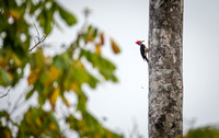 Red-crested Woodpecker