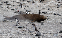 Penguins scatter for galumphing seal