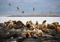 Sea Lions and Dolphin Gulls