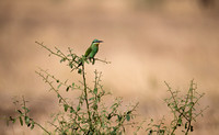Olive Bee Eater