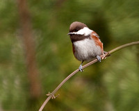 Chestnut Backed Chickadee/University Place