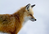 Red Fox - morning frost