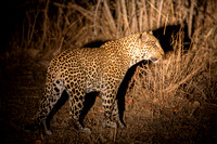 Leopard hunting at night