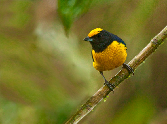 Yellow-bellied Tanager