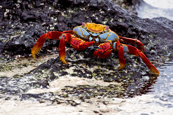 Sally-Go-Liightly Crab