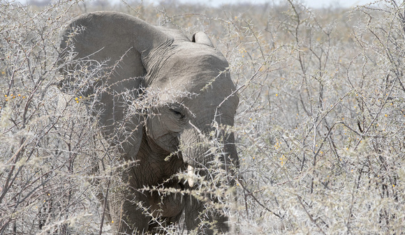 Elephant searching for food in the acacias