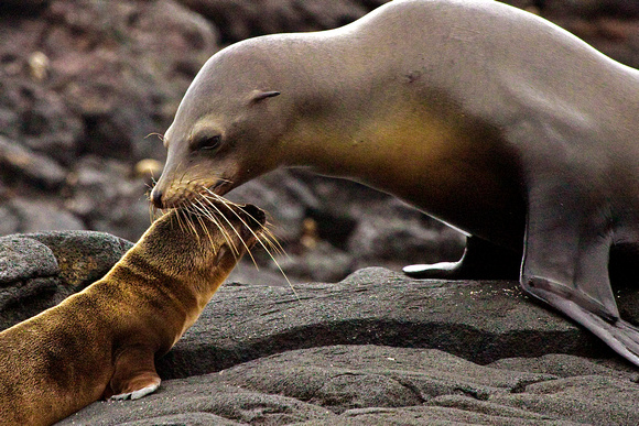 Sea Lion Mom & Pup