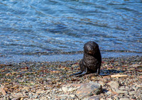 Fur seal looking for mom
