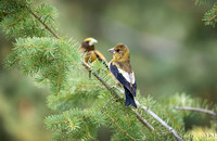 Juvenile Evening Grosbeak