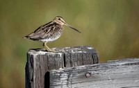 Wilson's Snipe on a favorite perch