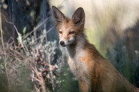 Red Mountain Fox
