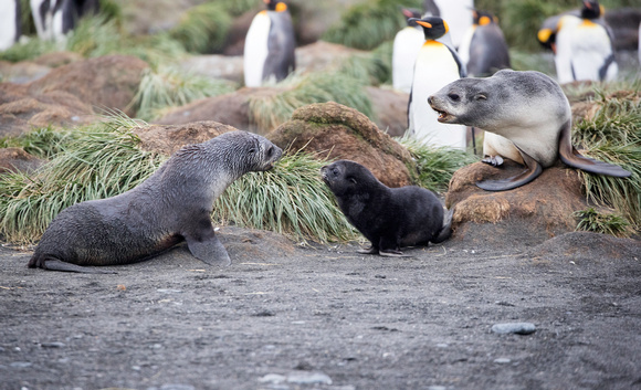 Young fur seals