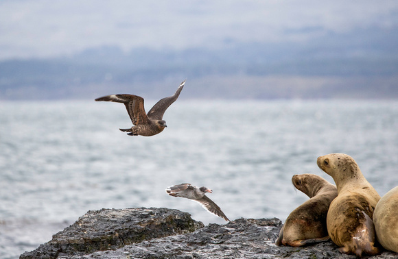 Brown Skua and Sea Lions