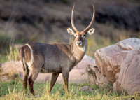 Waterbuck grazing near the river
