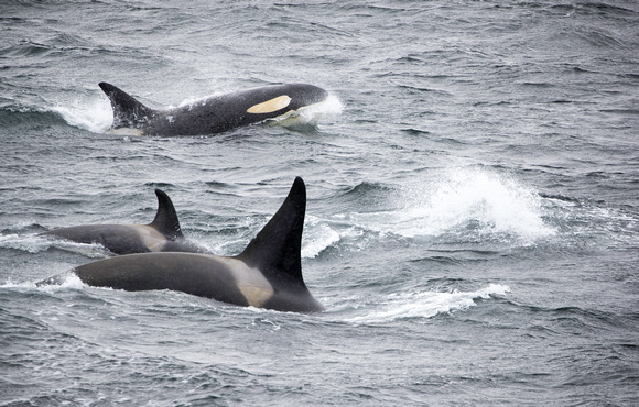 Orcas moving on
