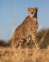 Cheetah Conservation Fund 2016