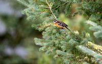 Juvenile Black-headed Grosbeak
